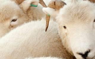 Белые овцы: обзор пород