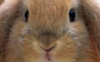 Сколько раз в сутки крольчиха кормит крольчат?