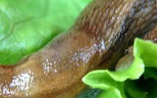 Как избавиться от слизней и улиток на капусте?