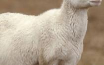 Беременность у овец: как определить, сколько длится, роды у овцы