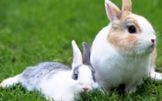 Почему кролик хрюкает?