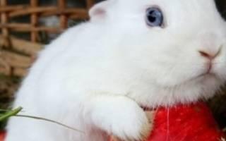 Кролик Гермелин: описание и характеристика породы