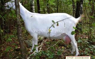 Как раздоить козу — способы повышения молочной продуктивности