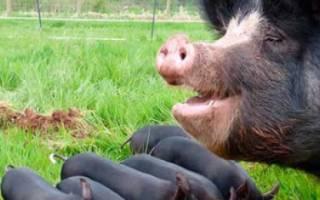 Черная свинья — характеристика породы, особенности содержания