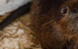 Нутрия как бизнес: выгодно ли разводить животных?