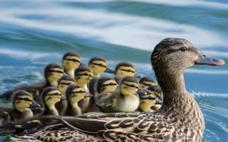Сколько живут утки: что и кто влияет на продолжительность их жизни?