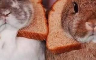 Можно ли кормить кроликов хлебом? Хлеб кролям: польза или вред?