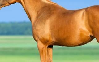 Рыжая масть лошади: описание и виды, генетика, породы лошадей рыжей масти