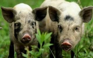 Миргородская порода свиней: описание и характеристика