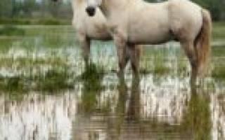 Порода лошадей камаргу: история, характеристика, распространение