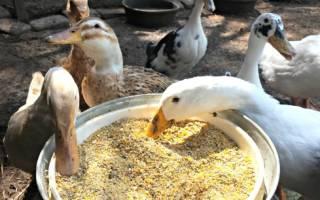 Чем кормить уток — рацион кормления уток, виды корма