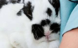 Болезни ушей у кроликов: их сиптомы и лечение