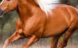 Лошадь хафлингер: описание породы, применение