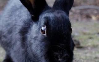 Обзор черных пород кроликов