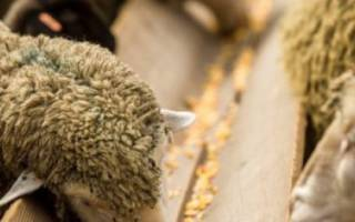 Когда нужны витамины для овец?
