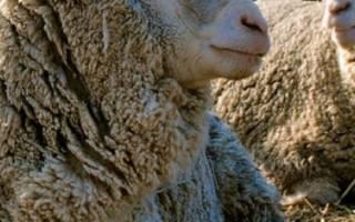 Овцы породы Прекос: описание и характеристика