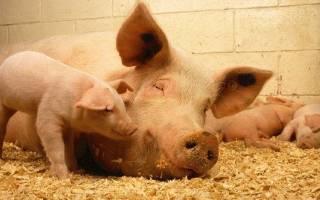 Выращивание свиней: выбор пород, преимущества разведения