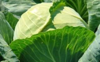 Голландские сорта белокочанной капусты