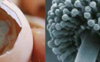 Аспергиллёз у кур: симптомы, фото, методы лечения, профилактика