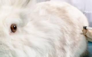 Когда нужно делать прививки декоративным кроликам: схема вакцинации