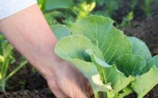 Как правильно сажать капусту в открытый грунт?