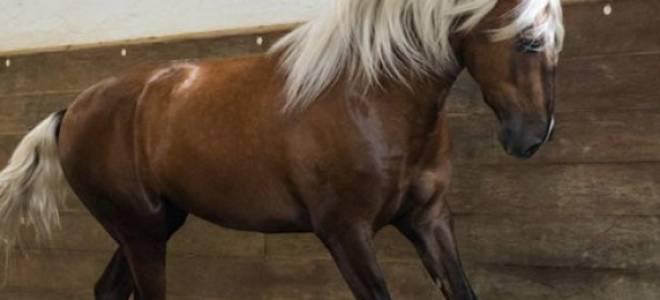 Лошадь лузитанской породы: происхождение, характеристика, использование