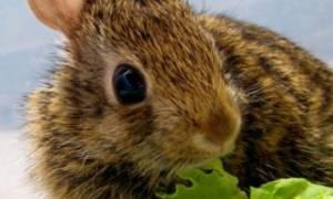 Можно ли давать кроликам листья салата?