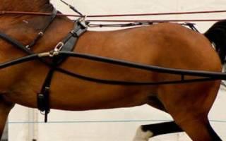 Порода лошадей Хакнэ: описание и характеристика