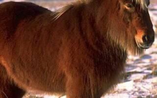 Монгольская порода лошадей: история, описание, разведение и использование