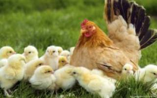 Особенности кормления цыплят бройлеров