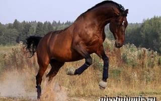 Тракененская порода лошадей: описание и характеристики