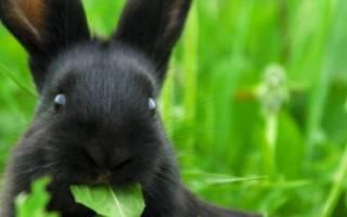 Можно ли давать кроликам подорожник?