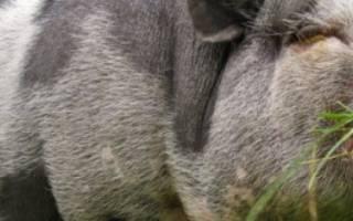 Сколько комбикорма съедает свинья в день: норма для набора массы