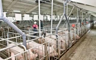 Бизнес-план свинофермы — расчет затрат и прибыли