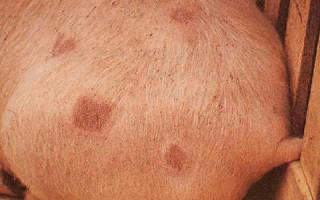 Чесотка у свиней: симптомы и лечение