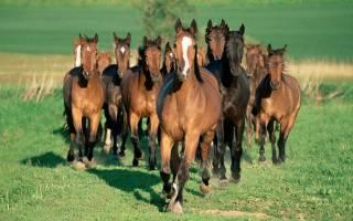 Разведение лошадей на мясо: породы, продуктивность, правила откорма