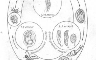 Дикроцелиоз КРС: симптомы и лечение
