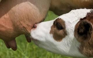 Кормление лактирующих коров по фазам