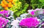 Декоративная капуста: сорта с фото и названиями