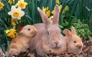 Можно ли давать кроликам щирицу?