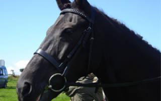Французский рысак — особенности породы лошадей, их содержание, разведение