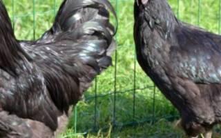 Льюянг порода кур: подробное описание с фото