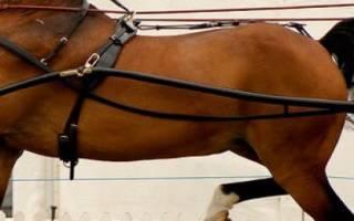 Английские породы упряжных лошадей: хакнэ, шайр, верховая, описание и характеристика