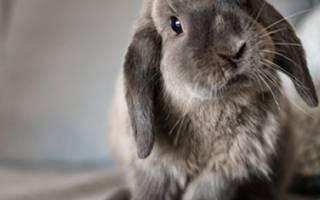 Ампролиум: инструкция по применению для кроликов