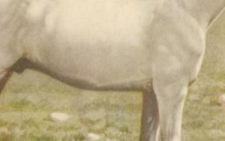 Иомудская порода лошадей: описание, использование