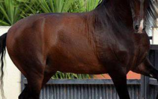 Андалузская порода лошадей: описание и характеристика