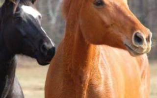 Обзор аборигенных пород лошадей