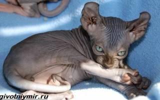 Кошка эльф: фото, цена, описание породы, отзывы