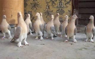 Голуби такла: содержание, рацион, особенности бойных голубей