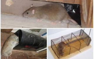 Как избавиться от крыс в курятнике быстро: действенные методы
